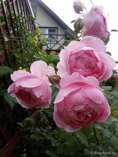 Роза Alan Titchmarsh