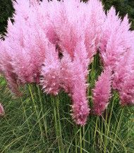 Cortaderia Pink Feather 1 szt.
