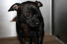 Butter: Beautiful black chi available July 5 at high-kill upstate shelter RESCUED