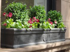 Boxwoods (such as Wee Willie® Boxwood) are ideal for window boxes, as they require little tending and their dark green leaves complement flowers such as pansies now and heat-lovers later.