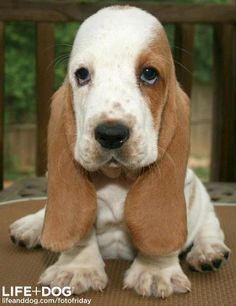 Bassett Hound Puppy  Sorry! I know that's #3