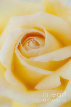 Rose Print by Tad Kanazaki