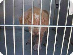 San Antonio, TX - Labrador Retriever Mix. Meet A289412 a Puppy for Adoption.