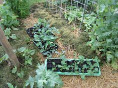 Diese Kohlpflanzen wurden schon bei der Anzucht mir Effektiven Mikroorganismen gegossen