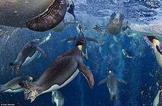 Pingüinos nadando bajo el hielo en la Antártida gana premio Veolia - Majestic birds swimming through icy waters in Antarctica wins coveted photography award