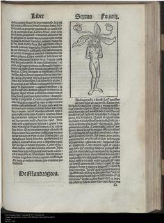 Mandragora, 1490, Pietro de' Crescenzi, Gart der Gesundheit, Biblioteca Nazionale Centrale di Firenze, [De Mandragora], P.192