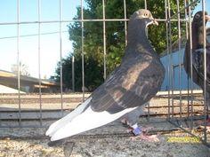 Pigeon Breeds, Loft Design, Cool Websites, This Is Us, Birmingham, Animals, Birds, Animales, Animaux