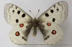 Apollo butterflies are vulnerable in the wild. This one was collected in the Burgos Province, Spain, and was collected by W. L. Coleridge