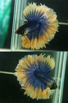 Blue yellow HM male