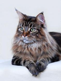 Maine Coon kat, volwassen. Classic Bruin Tabby kleur Stockfoto