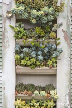Detail of shutters filled with succulents.  It looks like they used gutters as planters. Interesting!