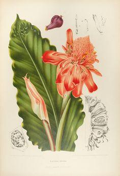 Fleurs, fruits et feuillages choisis de la flore et de la pomone de l' Ile de Java peints d'après nature par Madame Berthe Hoola van Nooten. Troisieme edition