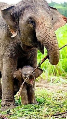 Mother Elephant helping her Baby Calf Carry a stick to play with, when they get home to rest (mamá elefante y su cría con un palo para jugar). Nature Animals, Animals And Pets, Wild Animals, Beautiful Creatures, Animals Beautiful, Beautiful Babies, Cute Baby Animals, Funny Animals, Baby Elefant