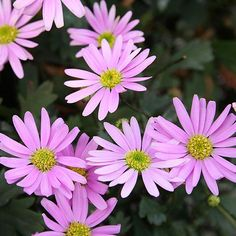 Surdaisy Brachyscomb 2014 You'll swoon over the masses of happy pink flowers produced by 'Surdaisy' brachyscomb. These compact, mounding plants are ideal for baskets and urns and bloom in pink, yellow, and mauve. Each plant produces hundreds of self-cleaning flowers so the plants never look unkempt.