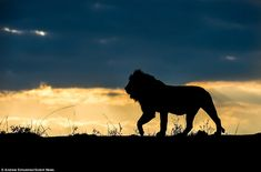 The Lion King: Photographer Andrew Schoeman captured this striking image of an alpha male lion prowling across the wild fields of South Africa