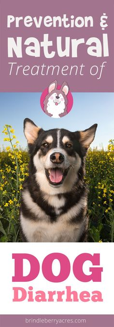 all-natural treatment for looseness of the bowels, Indicators & Signs and also how to get rid of naturally and efficiently Dog Diarrhea Remedy, Dog Has Diarrhea, How To Cure Diarrhea, Dog Upset Stomach, Body Organs, Natural Home Remedies, Natural Treatments, Puppies, Nature