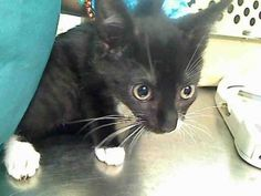 MANHATTAN CENTER  APPLE – A1072260  MALE, BLACK / WHITE, DOMESTIC SH MIX,3 mos STRAY – STRAY WAIT, NO HOLD Reason STRAY Intake condition EXAM REQ Intake Date 05/02/2016, From NY 10472, DueOut Date 05/05/2016, I came in with Group/Litter #K16-055789.  Medical Behavior Evaluation YELLOW Medical Summary two kittens came together A1072260, A1072262 scan negative ear mite negaitve flea comb negaitve- treated with activyl male intact severe tense, nervous during exam, tries to flee Weight 3.0