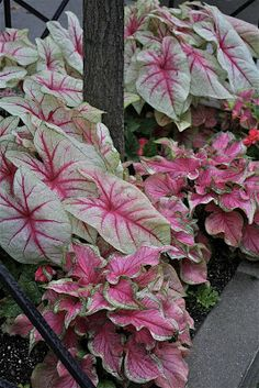 Caladiums tropical garden must have