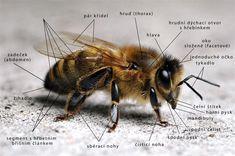 Výsledek obrázku pro včela medonosná vývojová stadia