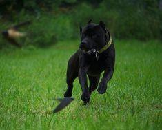 11 month old Prague Black Pitbull, Cane Corso Dog, American Pitbull, Pitbull Terrier, Beautiful Dogs, Panther, Cute Dogs, Pitbulls, Cute Animals