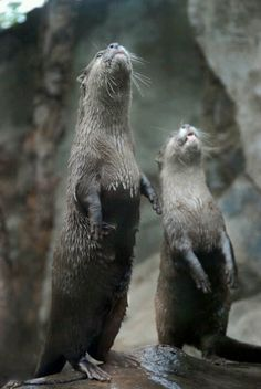 otter you seeing what I'm seeing? Cut Animals, Baby Animals, Funny Animals, Beautiful Creatures, Animals Beautiful, Otters Cute, Otter Love, River Otter, Tier Fotos