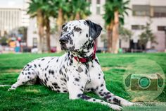 Dalmatian in Downtown LA