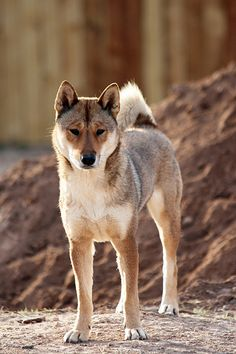 I want a Shikoku Inu so bad