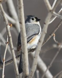 tufted titmouse - Photography by Cindy Timbs