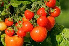 Strö lite bikarbonat i jorden runt tomatplantan. Bra Hacks, Good To Know, Garden Plants, Gardening Tips, Diy And Crafts, Fruit, Vegetables, Pictures, Bra Tips