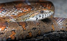 All sizes | Corn Snake | Flickr - Photo Sharing!
