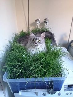 We grew some grass for our indoor cat. We think she likes it. ~ What an inexpensive, appealing & cheerful result from very little effort, & large enough to sprawl-out ! ! ! Great idea; I give it a 10! ;)