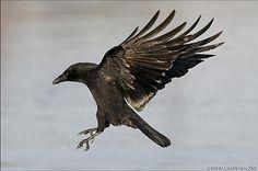 crow tattoo idea