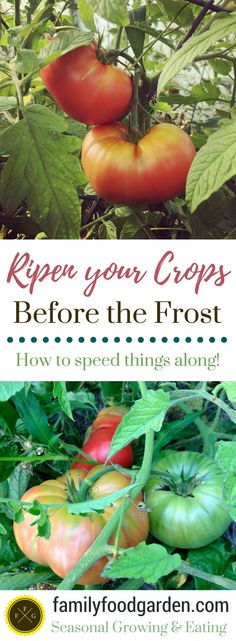 How to Ripen your Summer Crops before the Fall Frost