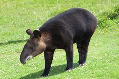 Mountain tapir - Wikipedia, the free encyclopedia