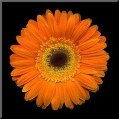 I Quit My Day Job! Guest Writer Artist Erin Keane: http://alisasteadyart.blogspot.com/2012/12/i-quit-my-day-job-inaugural-interview.html Artwork: 8x8 Orange Gerbera Daisy Wall Plaque by jonathanshuff on Etsy