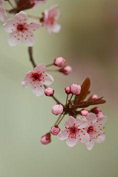 Botanical Flowers, Flowers Nature, Exotic Flowers, Cherry Blooms, Cherry Flower, Sakura Cherry Blossom, Blossom Flower, Ikebana, Beautiful Flowers Wallpapers