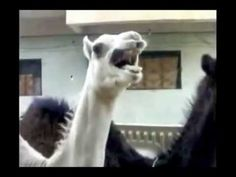 Camel laughing like Peter Griffin