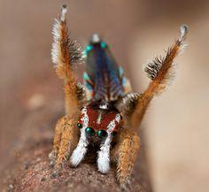 peacock spider Maratus linnaei