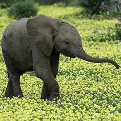 馬沙圖 Mashatu 野生動物保護區,1只 #非洲象 #African_Elephant 幼崽在開滿鮮花的草地上漫步,非洲 Africa 博茨瓦納 Botswana。保護區地處熱帶草原氣候區,年均氣溫在21℃左右,每年11月至次年3月是當地的雨季。攝影師:Ruth Nussbaum