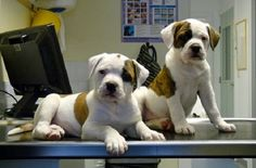 american bulldog puppy 8 weeks | Zoe Fans Blog