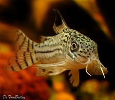 Trilineatus Corydoras Catfish. My little guy!