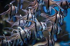Banggai Cardinalfish. One of my favorite species of fish!