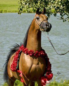 Arabian Horse  Contact info: ambassadorarabians@gmail.com