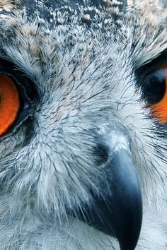 hoot. owl close-up.
