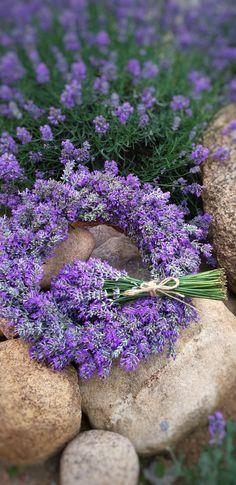 Provence Lavender, Lavender Cottage, Lavender Garden, Lavender Blue, Lavender Fields, Lavender Flowers, Purple Flowers, Beautiful Flowers, Flora Garden
