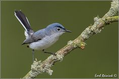 Blue-gray Gnatcatcher | Flickr - Photo Sharing!