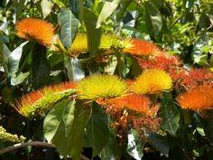 FLORA DE MISIONES Argentina: Combretaceae