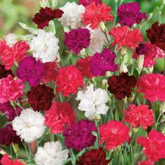 Dianthus 'Ever-blooming Mixed' (Hardy) - Perennial & Biennial Plants - Thompson & Morgan