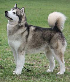 Alaskan Malamute breed info,Pictures,Names,Characteristics,Hypoallergenic:No