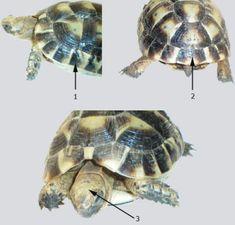 Sur le site d'information, vous trouverez toutes les informations utiles sur la tortue de terre ainsi que sur la tortue terrestre, tortue Graeca, La tortue Hermann / Graeca